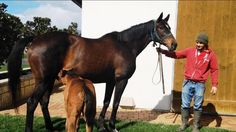 MAKYBE DIVA has been confirmed in foal to STARSPANGLEDBANNER. Here she is with her All Too Hard filly.