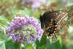 Black Photograph - Black Swallowtail by Tammy Finnegan
