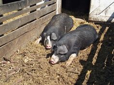 Pigs getting some sun at Slate Run Historical Farm.