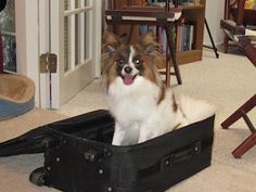 Does your dog try to get in your suitcase and try to travel with you?