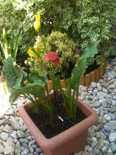 Calla Plants, Paradise, Garten, Flora, Plant, Planting