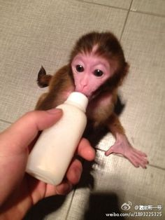 baby monkey having milk