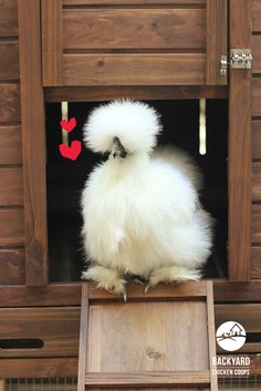 Bantam Chicken Breeds, Bantam Chickens, Chickens And Roosters, Unique Animals, Animals For Kids, Unique Pets, Gallus Gallus Domesticus, Fluffy Cows, Beautiful Creatures