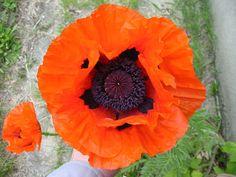 Mak - http://www.semena-osiva.sk/osivo-kvetin-osiva/193-mak-vychodny-zmes-farieb-kvetina-papaver-orientale-semena-02-g.html