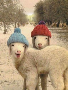 Image about sheep in Animals for the love of them by Belaseed Cute Creatures, Beautiful Creatures, Animals Beautiful, Cute Baby Animals, Animals And Pets, Funny Animals, Farm Animals, Animal Pictures, Cute Pictures