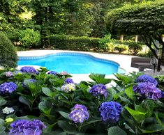 We have something blossoming all summer long. Right now our purple and blue hydrangeas provide waves of color around our swimming pool. landscaping pots Landscaping Swimming Pools with Color Plants Around Pool, Pool Plants, Above Ground Pool Landscaping, Swimming Pool Landscaping, Backyard Landscaping, Landscaping Ideas, Backyard Ideas, Garden Ideas, Pool Landscape Design