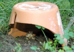 : You can knock a small opening in the side of a clay pot, or even stack a few bricks to make a small shelter. Toads will be attracted to the shelter, use it during the day and claim it as their territory coming back year after year. Each night one toad can eat up to 100 slugs, grubs, grasshoppers, tomato beetles, cutworms...anything you don't want eating your garden. The tadpoles also eat mosquito larvae!