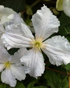Clematis 'Prince George', named after the new royal baby, is a very long and free flowering clematis, that can reach heights of around 10 feet. We also have the clematis named after Princess Kate (http://www.taylorsclematis.co.uk/Princess-Kate.html) Clematis Prince George will hopefully be launched by us at Hampton Court Flowershow this year - 2016.