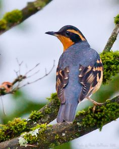**Varied Thrush, breeds in North America from Alaska to Calif. Prefers dense, moist conifer forests.