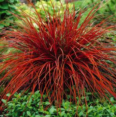 Uncinia Rubra - Firedance Ornamental Grass - I don't think this does well in U. northeast front porch landscaping Love the color! I'm now on a mission to add this in my garden next to the Karl Forester.