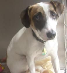 Buddy is an adoptable Jack Russell Terrier Dog in Loudon, TN. Buddy is a sweet boy, he is housebroke, neutered and up to date on his vaccinations. For more information on this or any other adoptable p...