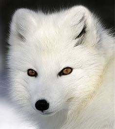Arctic Fox by by Michel Roy