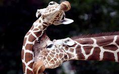 Girafas - Köln