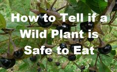 Survival Food: Learn the Universal Edibility Test Now! Wild plants are everywhere. That's a good thing because in SHTF situations they help to provide both shelter and food sources for survival. But out of all the thousands of plants, flowers, berries and roots, how can you tell which ones are safe to eat and which …