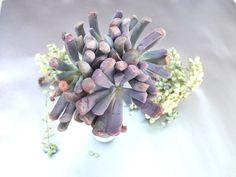 Image of Echeveria Liliac Spoon Echeveria, Spoon, Succulents, Plants, Image, Spoons, Succulent Plants, Plant, Planets