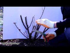 Τριανταφυλλιές Αβράμη: Χειμωνιάτικο Κλάδεμα Τριανταφυλλιάς - YouTube Landscape, Youtube, Garden, Plants, Scenery, Garten, Lawn And Garden, Gardens, Plant