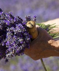 Marguerite Blanc is one of the last persons to harvest lavender by hand in Provence Lavender Cottage, French Lavender, Lavender Blue, Lavender Fields, Provence Lavender, Luberon Provence, Provence France, Champs, Malva