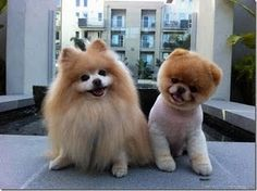 puppies-do you think these two puppies are both polmeraniums ?????