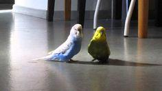 Undulaatit Pena ja Markku Parrot, Bird, Animals, Feather, Parrot Bird, Animales, Animaux, Birds, Animal