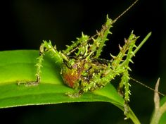 Spiny katydid, Panacanthus sp.  (it's like an unripe durian decided to mate with a grasshopper)