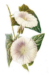 Antique Images: Vintage Digital Wildflower Botanical Clip Art of F...