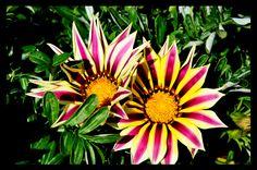 flowers by Simona Ciglenean (Susino), via Amazing Photos, Cool Photos, Multi Colored Flowers, Napoleon, Gardens, Eyes, Board, Holiday, Plants