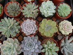 A Collection Of 9 Large Rosette Shape by SucculentsGalore on Etsy, $42.00