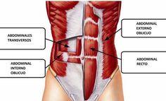 musculo transverso
