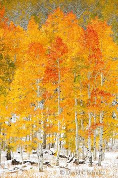 Would make a lovely textile piece. Autumn aspen grove with snow at Soapstone Summit, Uinta Mountains, Utah. Photo by David Schultz Autumn Photography, Landscape Photography, Aspen Trees, Birch Trees, Mellow Yellow, Tree Art, Pretty Pictures, Beautiful World, Scenery