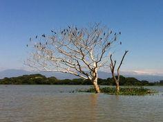 El Salvador - Suchitoto: patos tunco descansando en el Humedal del Cerron Grande / suchitoto.tours @gmail.com