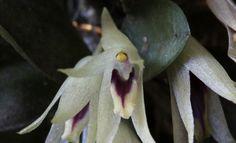 Octomeria estrellensis - Flickr - Photo Sharing!