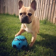 Got skillz( I Think & believe that all French Bull Dog puppies are all so very cute.)