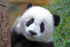 The Worth of a Whale and the Price Tag of a Panda Panda Habitat, Nature Research, Baleen Whales, Panda Bear, Farm Animals, Conservation, Mammals, Habitats, Panda
