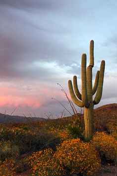 One sunset image that sticks in your mind for a very long time    ✯ Saguaro at Dusk