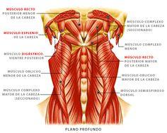 Músculos cervicales - Plano profundo.