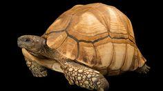 Ploughshare tortoise: Approximately 600 survive. Photographed atTurtle Conservancy atOjai, California.