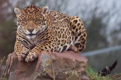 jaguar by J9STL on 500px... #animals #jaguar