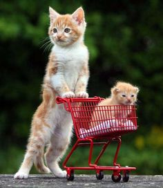 """Chesney, an 8-week-old kitten, pushes """"step-brother"""" Joey, a 2-week-old kitten, around in a mini shopping cart in, Devon, England. Joey was ..."""