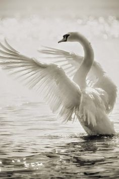 Swans very beautiful..