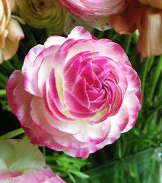 Pink & White Ranunculus