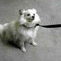 Stockton Ca Pomeranian Meet Puff Daddy A Dog For Adoption