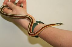 Garter - Red sided Snakes, Garter, Reptiles, Red, Animals, Animaux, A Snake, Animal, Animales