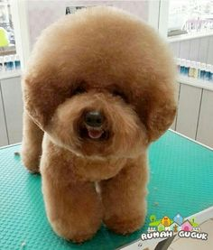 Poodle grooming pic courtesy of @rumahguguk