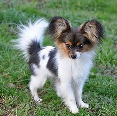 Anelli is 7 mo old and probably as big as she& going to get. A tiny bundle… Anelli is 7 mo old and probably as big as she& going to get. A tiny bundle of cuteness. Anelli is 7 mo old and probably as big as she& going to get. A tiny bundle. Beautiful Dogs, Animals Beautiful, Perro Papillon, Papillion Puppies, Pet Dogs, Dog Cat, Doggies, Cute Puppies, Dogs And Puppies