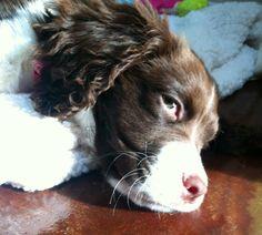 English Springer Spaniel puppy + Bailey Belle resting