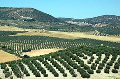 Olive farms in Andelusia, Spain Olive Tree, Andalusia, Personal Photo, Country Life, Places Ive Been, Pond, Vineyard, Journey, Europe