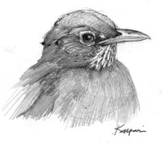 North American Bird Sketches – Drawing The Motmot Bird Drawings, Animal Drawings, Drawing Birds, Cardinal Drawing, Drawing Faces, Drawing People, Bird Pictures, Pictures To Draw, Life Drawing