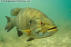 Smallmouth Bass | Smallmouth Bass, Micropterus dolomi, underwater