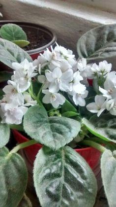 Violetas blancas, floreciendo