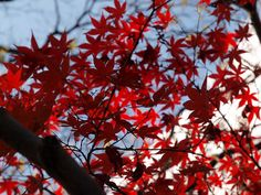 Sankeien, Autumn leaves